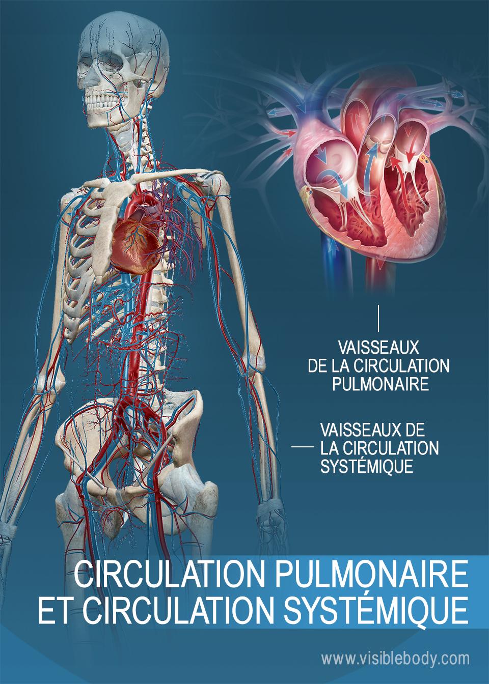 Ou Se Situe Le Coeur De La Crevette : situe, coeur, crevette, Circulation, Pulmonaire, Systémique