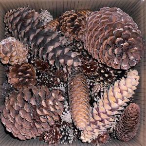 pine-cones-assorted_LRG