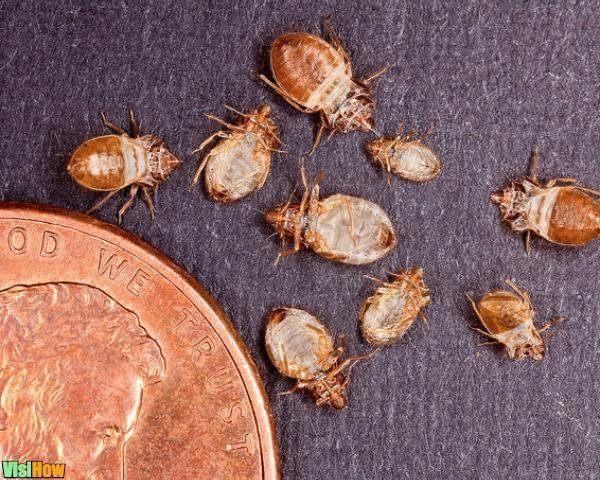 What Do Bed Bug Skins Look