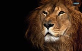 lion-7819-1280x800