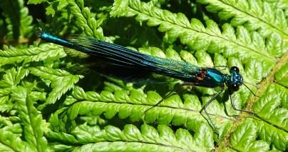 Banded Demoiselle (Calopteryx splendens) by Mike Stillman
