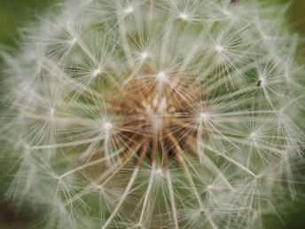 Seeding dandelion by Joe Woodman