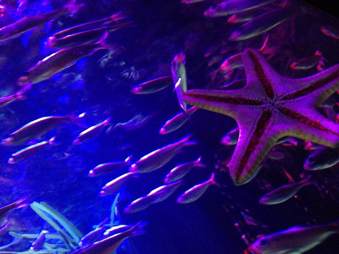 "Starfish at Sea Life Aquarium, Mall of America. Image by <a href=""https://flic.kr/p/siNhCi"" target=""_blank""> NHN_2009</a>"