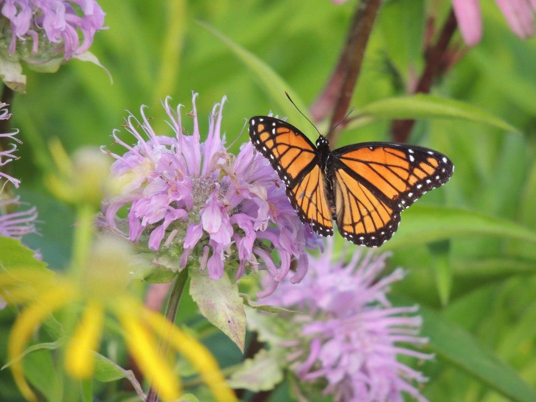 "Viceroy Butterfly Photo by <a href=""https://flic.kr/p/JcpvyA"" target=""_blank"">Brent Sodergren/USFWS</a>"