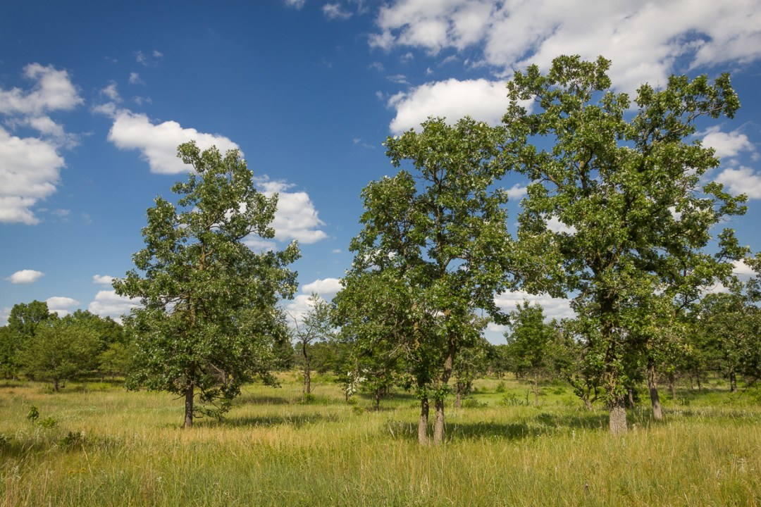 """Oak Trees Photo by <a href="""" https://flic.kr/p/Jfsjs9"""" target=""""_blank"""">Brett Whaley/flickr</a>"""