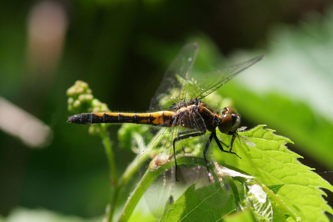 "Dragonfly Photo by <a href=""https://flic.kr/p/6qfwkt"" target=""_blank"">sankax/flickr</a>"