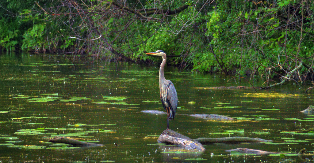 Blue Heron in Fort Snelling State Park Photo by SPP Photography https://flic.kr/p/89TXku