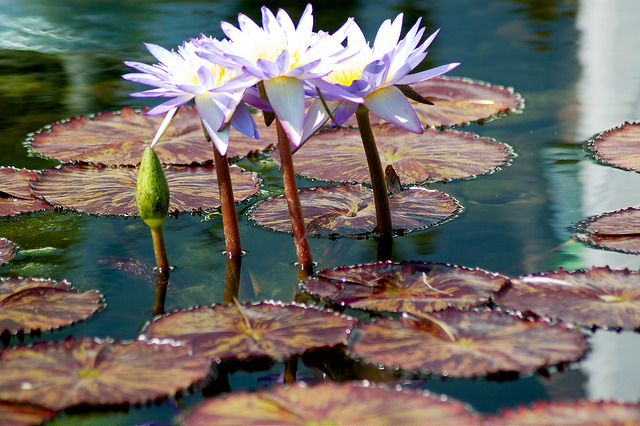 "Water Flowers Image by <a href=""https://flic.kr/p/fLKYvp"" target=""_blank"">GSankary/flickr</a>"