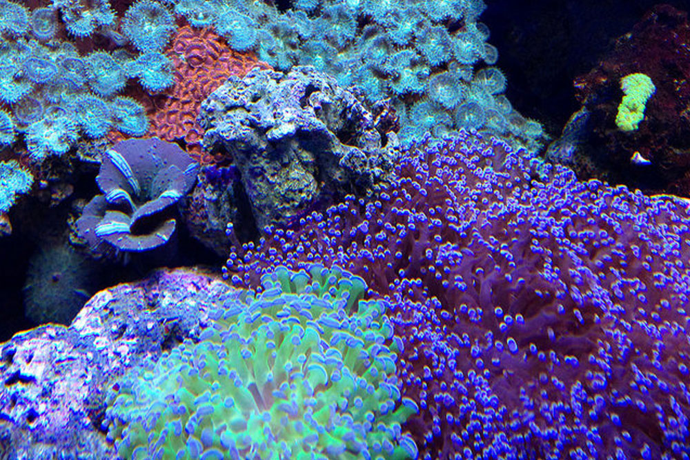 Some brightly colored coral at SEA LIFE Minnesota Aquarium.