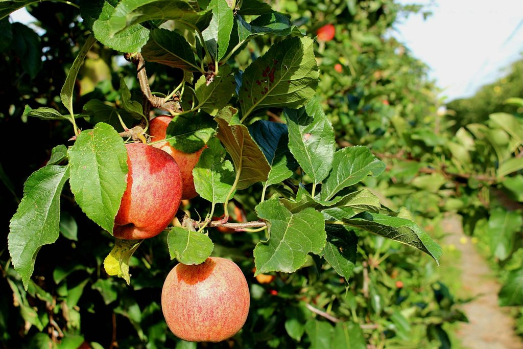 Closeup of apples on a tree in an orchard.