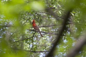 Cardinal on tree branch. Birding in the Twin Cities.