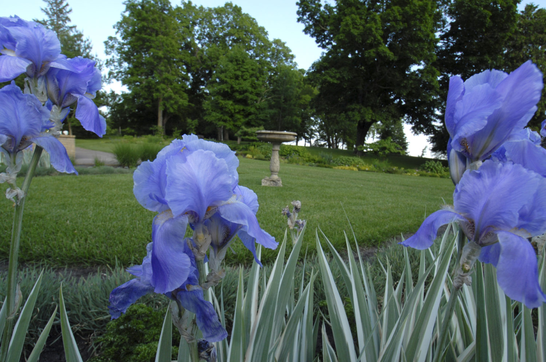 Irises bloom a dark periwinkle on Noerenberg's grounds.