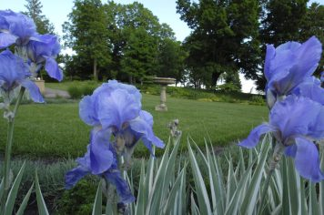 Irises bloom a dark periwinkle on Noerenberg's grounds.