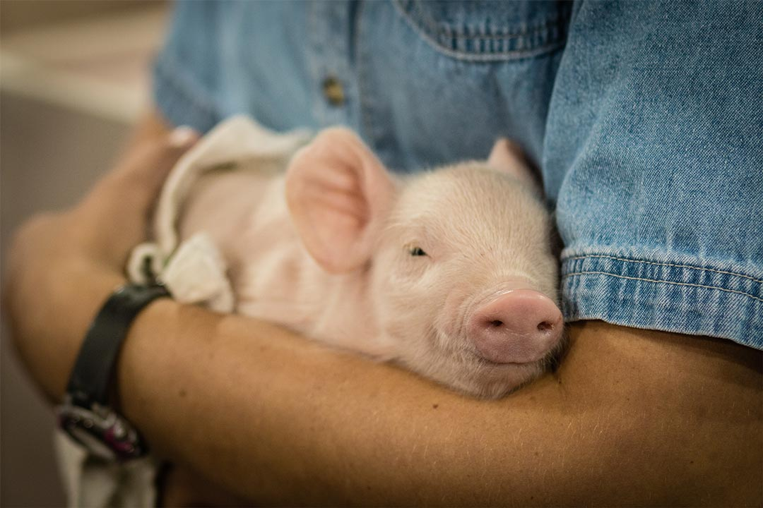A piglet at the Minnesota State Fair.