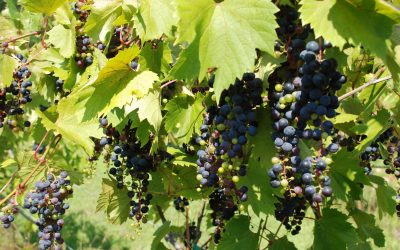 Red Wing Winery Tour