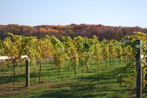 Vineyard at Chateau St. Croix in Taylors Falls.