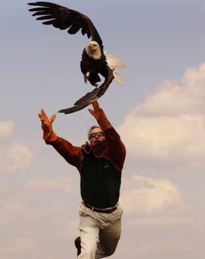 Dr. Patrick Redig leans forward to thrust the bald eagle into the air as the bird spreads its wings, twisting to catch the draft.