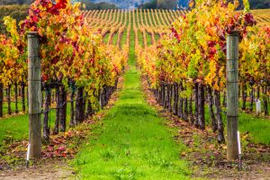 Rows of grape vines at a winery   winery day trips