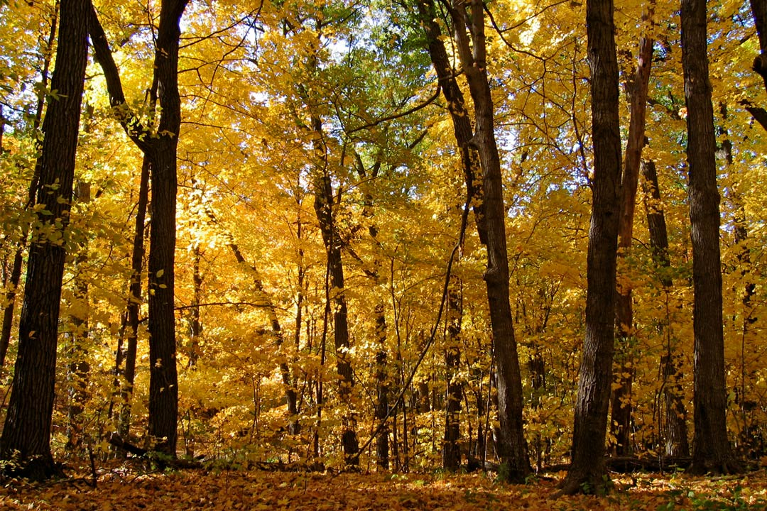 A collection of trees with fall colors at the Minnesota Landscape Arboretum.