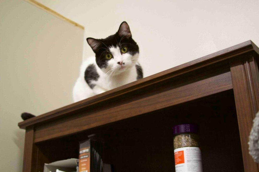 Annabelle, a black and white cat, peers over the shelf at The Cafe Meow.