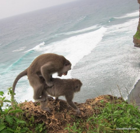 Where do baby monkeys come from?   Monkey Sex in Ulu Watu, Bali, Indonesia
