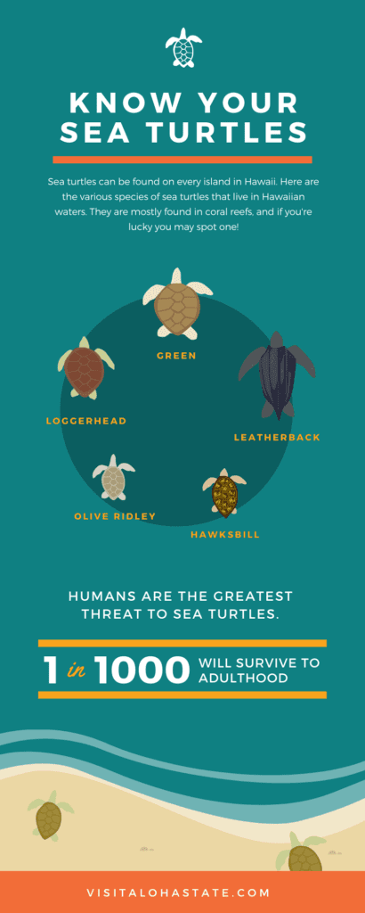 Sea Turtle Infographic Hawaii