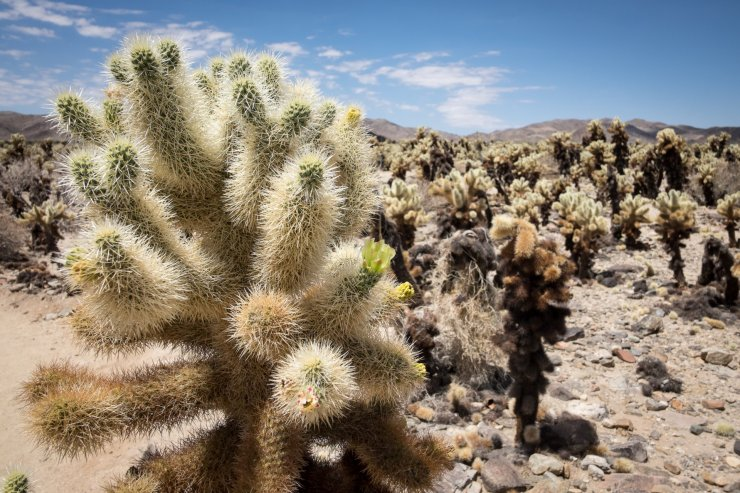 Cholla Cactus Garden, a highlight of Death Valley and Joshua Tree National Parks itinerary
