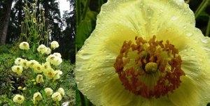 Meconopsis-autumnalis