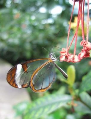 GlasswingButterflyReal