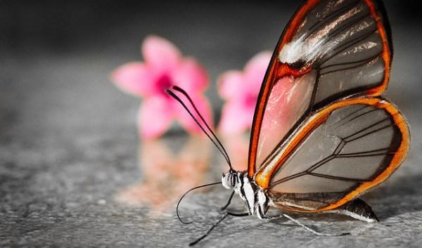 GlasswingButterflyReal01