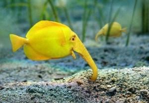 ElephantFish01