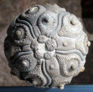 FossilSeaUrchin