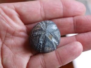 FossilSeaUrchin02
