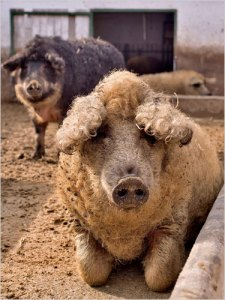 WoolyPigs03