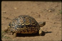 TortoiseLeopardStill