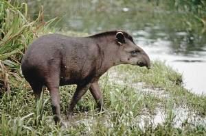 TapirusKabomani