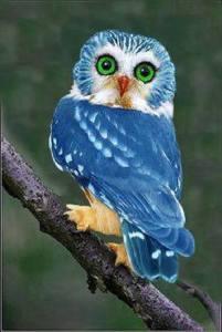BlueOwls01