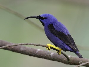 Purple-Honeycreeper01JamesOwnby