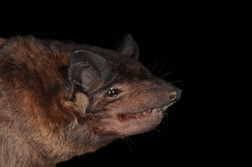 What do dog faced bats eat