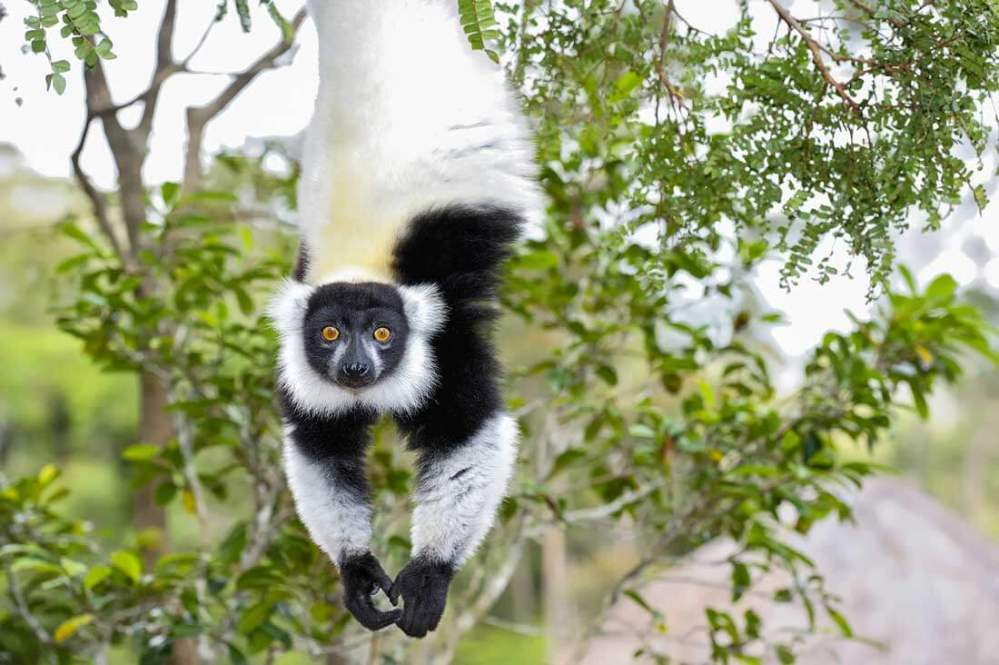 david-traylor-zoo-lemur--featured