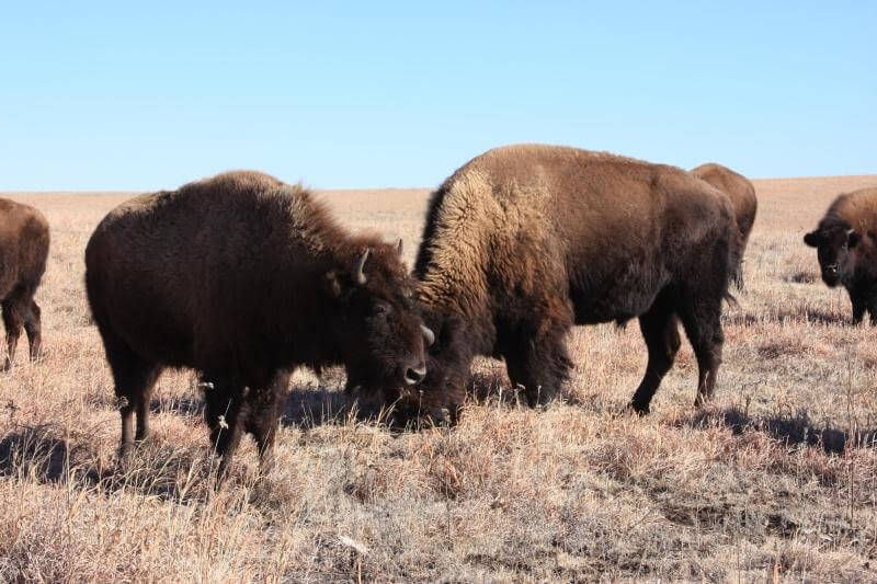 bison grazing at Tallgrass Prairie National Preserve U.S. National Park