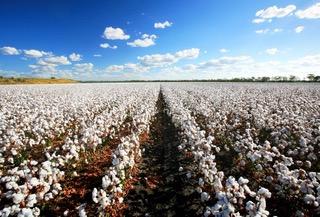 cotton-farm-goondiwindi