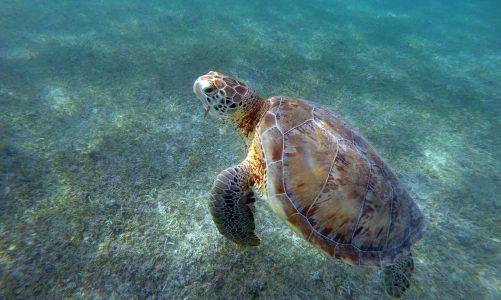 Nager avec les tortues à Akumal