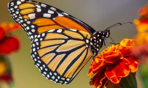Le majestueux papillon monarque
