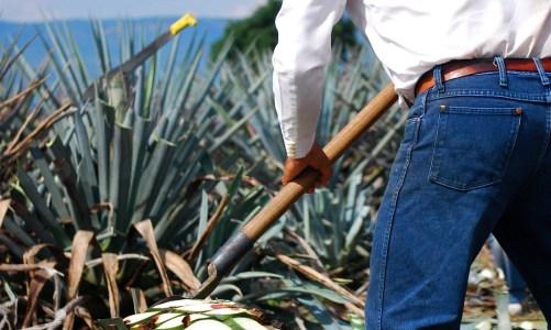 Le Mezcal, l'eau de vie mexicaine à base d'agave