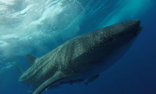 Le requin-baleine, ce pacifique géant des mers