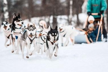 Arctic Expeditionin huskysynttärit. Kuva: dspmedia