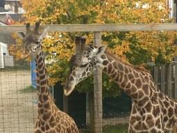 giraffes-1-e1483024958767