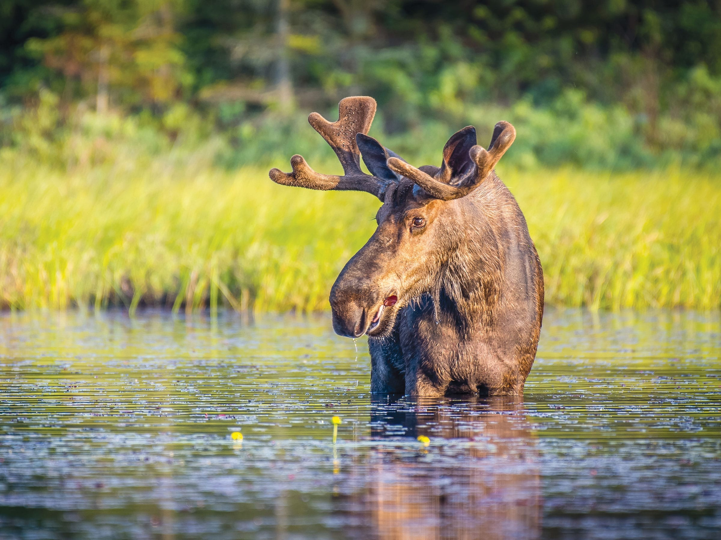 Maine Moose in the Kennebec Valley