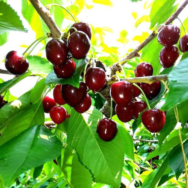 Seyfert Orchard
